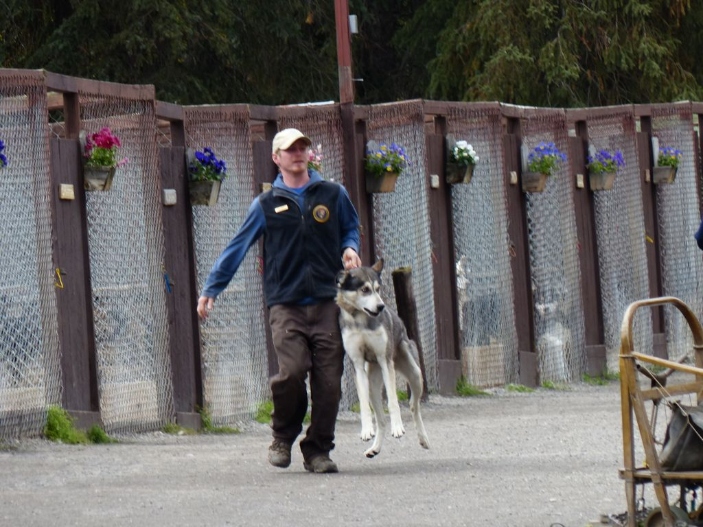 Looks hard on the dog, but the park personnel explained that the dogs are so strong that picking their forelegs up by their collar is the only way to prevent injuries to the handlers.