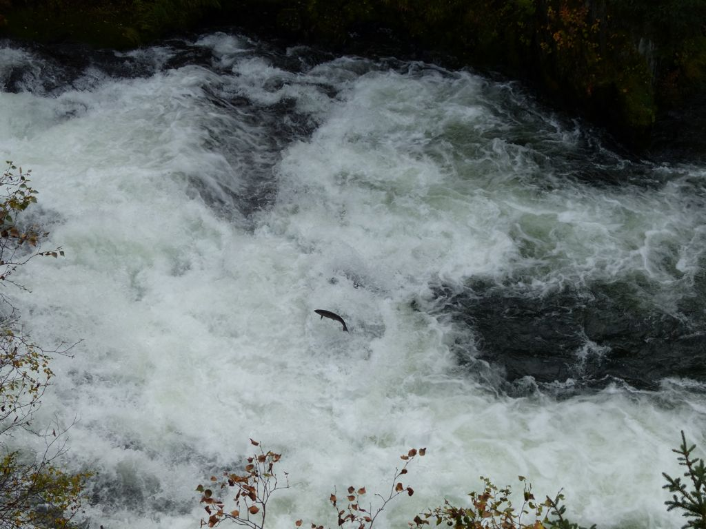 Salmon negotiating the rapids on the Russian River