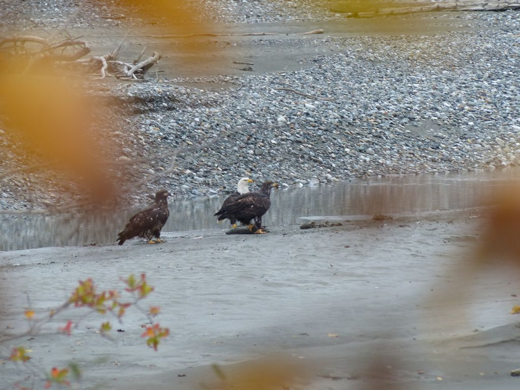 A bald eagle and two juveniles in the river bed