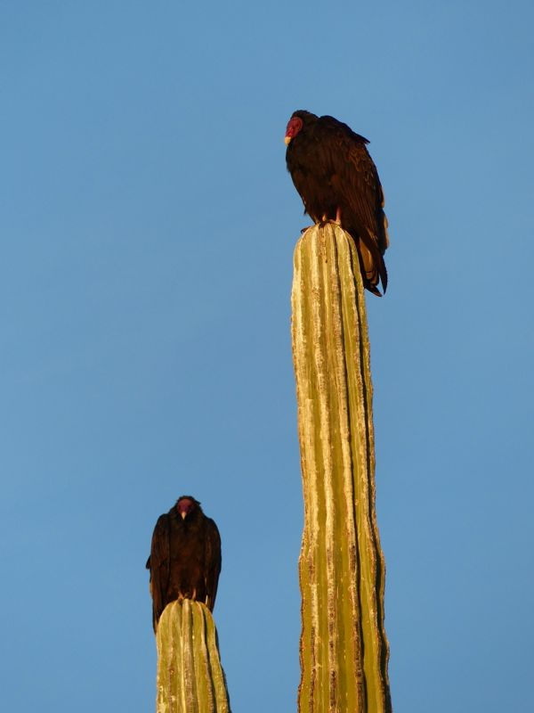Turkey vultures keep watch from atop their thorny perch