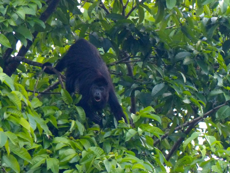 We got to see some beautiful birds and howler monkeys right in the campground.
