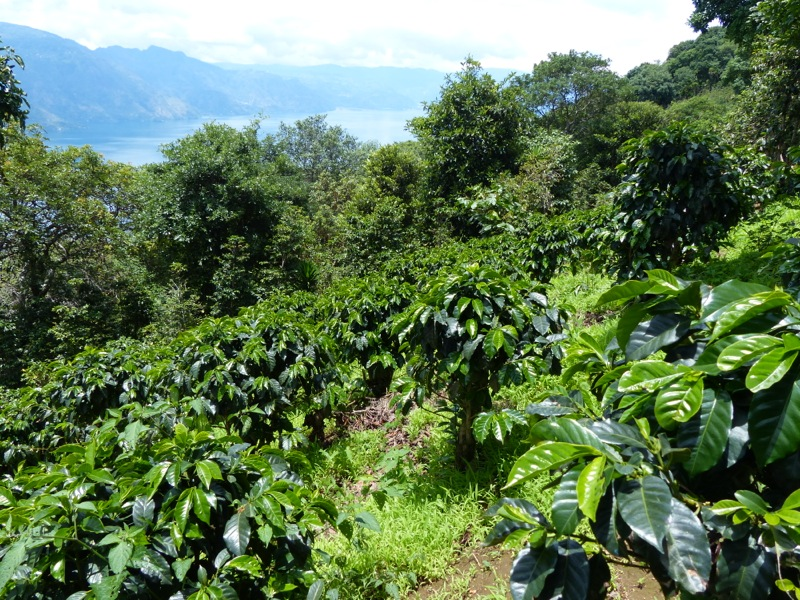 The lower slopes of Volcan San Pedro are covered with coffee plantations, avocado trees, and fields of veggies. Yum.