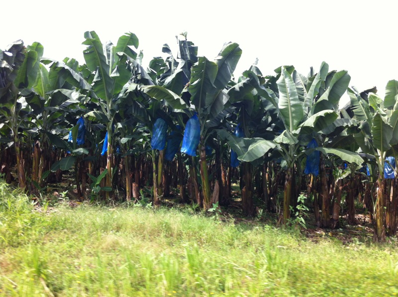 Really, there are bananas in the blue bags. Here are banana trees with the bagged bananas.