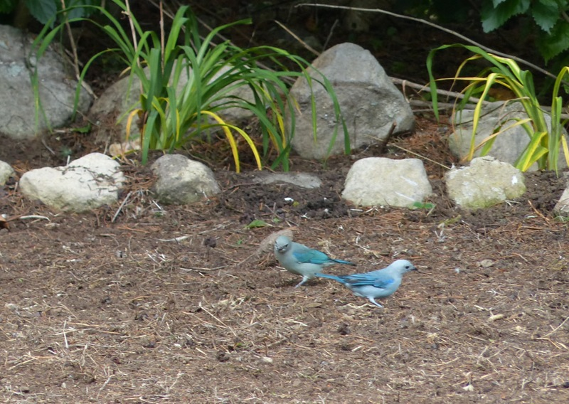 So are these blue ones. See what a knowledgeable birder I am?