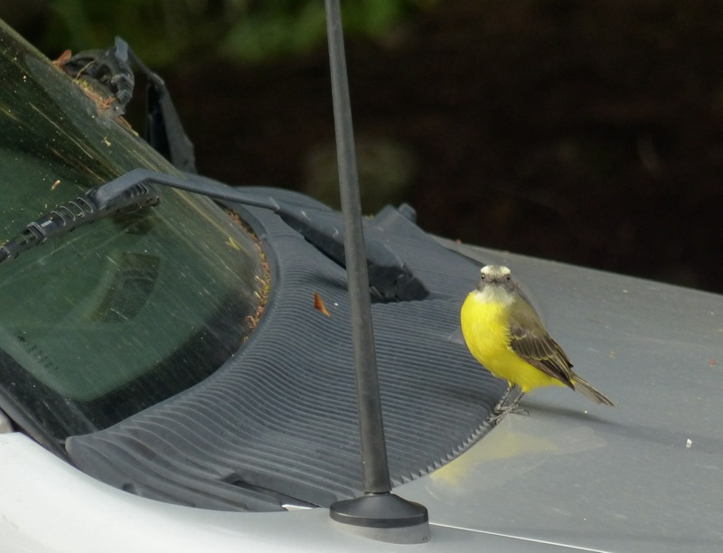 Here's another one of these yellow ones checking out his looks in the van's windshield.