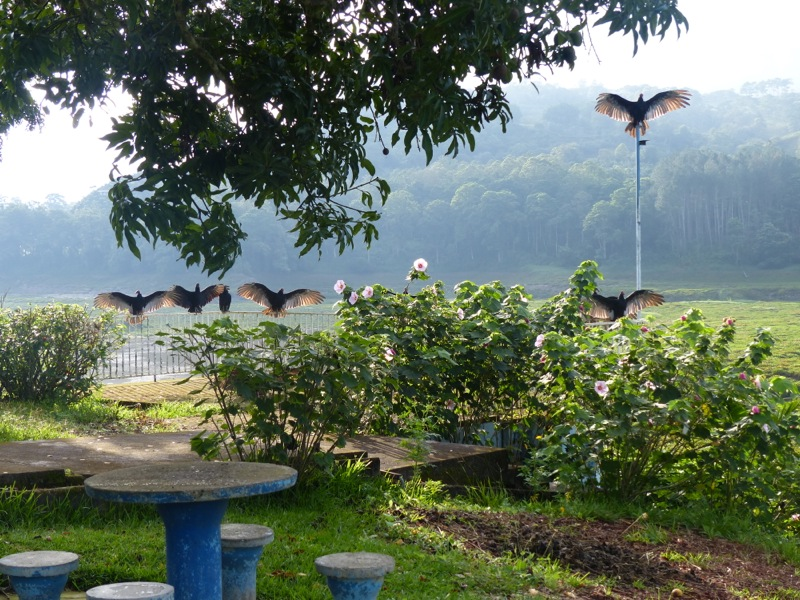 These vultures arrived early in the morning to dry their wings in the sun
