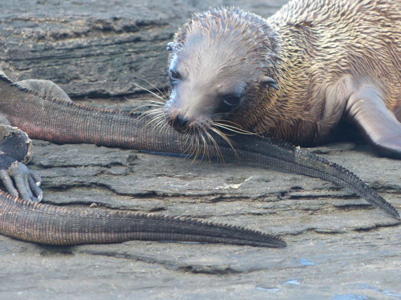 A sea lion pup playing with an iguana's tail. The iguanas didn't really seem to mind.