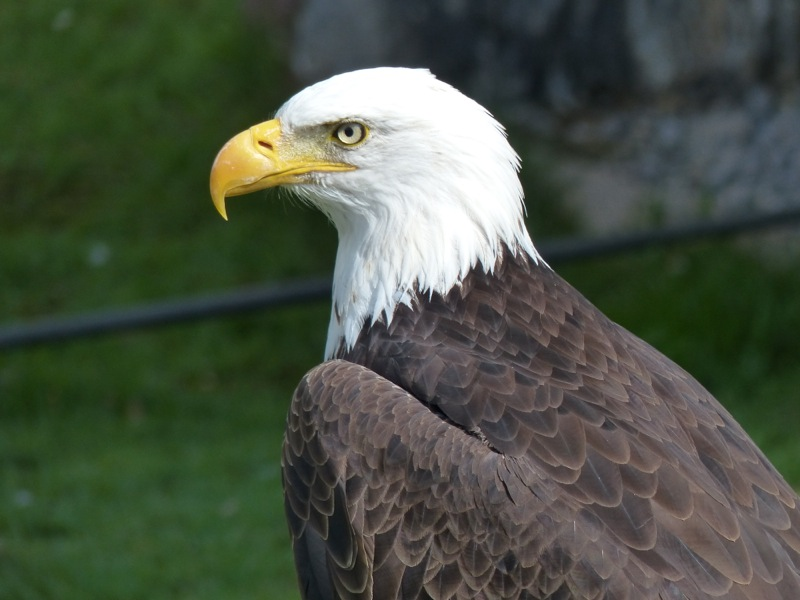 """They even had two bald eagles. This one is """"Gringo,"""" the female is named """"Gringa."""""""