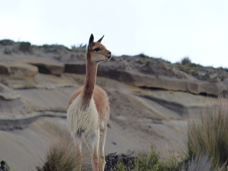 We saw more vicuñas in the park too.