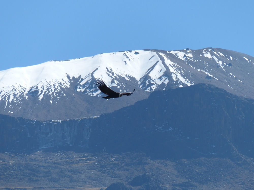 But the real highlight was the next morning. The area is home to numerous Andean condors, and they did not dissappoint, soaring majestically across the landscape.