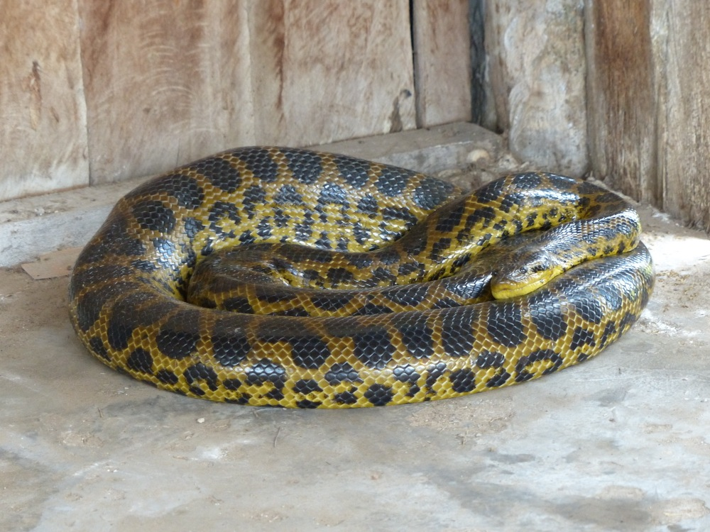 An anaconda had eaten a chicken and taken up residence in a local barn to digest its meal.