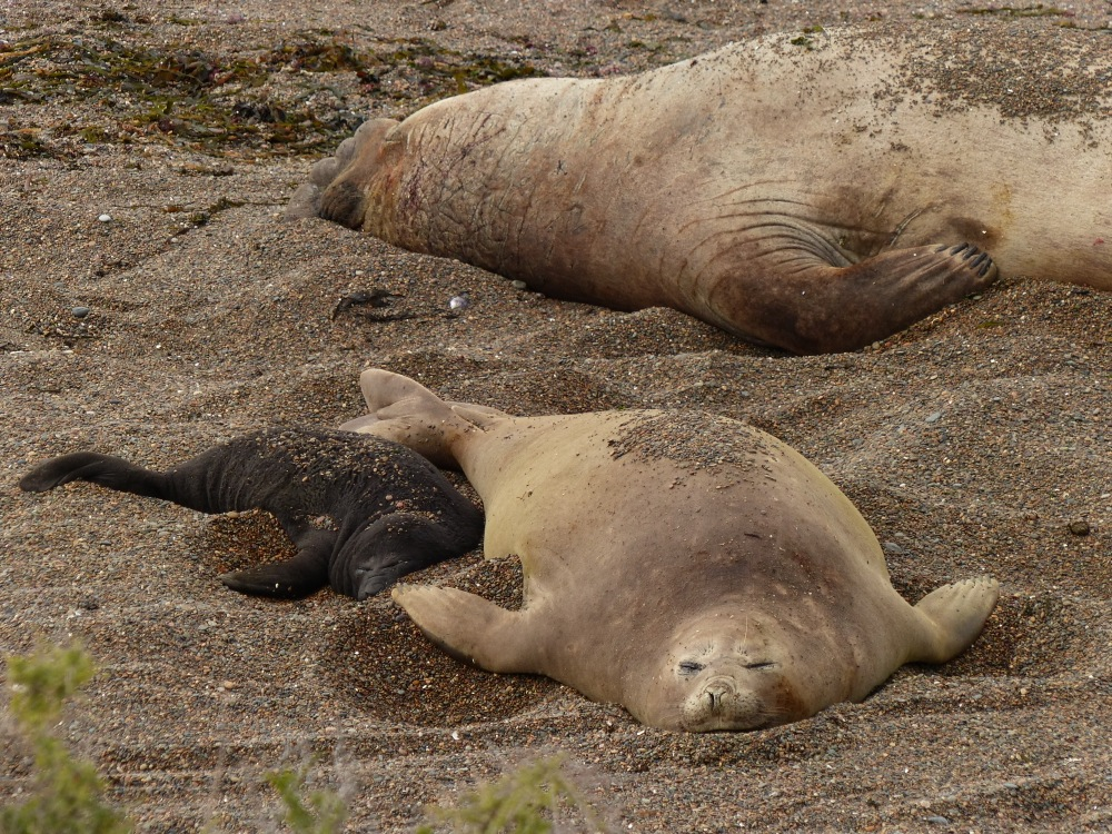 Elephant seals were sunning themselves on a beach on the north end of the peninsula.