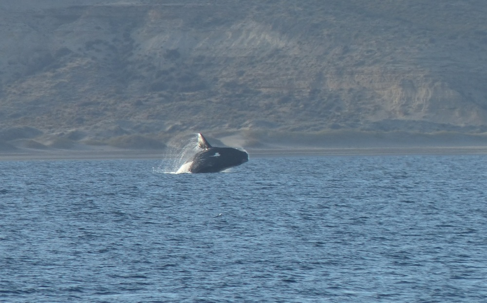 One morning we saw a great show including breaching whales.