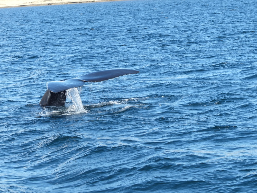 After our wild camping, we booked a tour on a whale watching boat and got to see them up close.