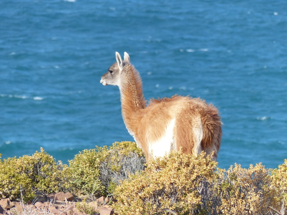 Guanacos are related to alpacas and the other camelids that call South America home.