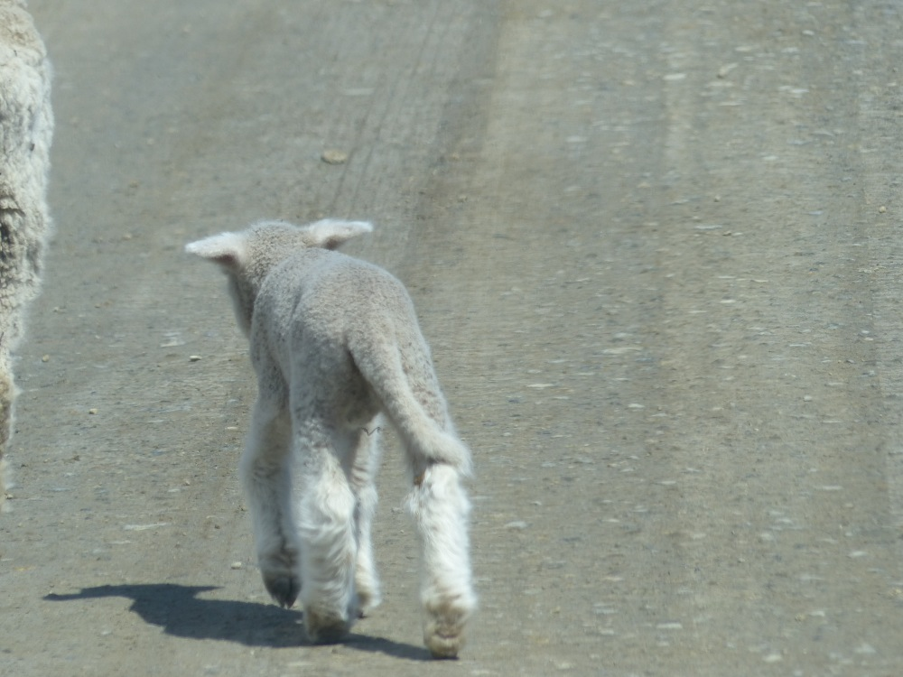 We had to keep a lookout for lambs crossing the road.