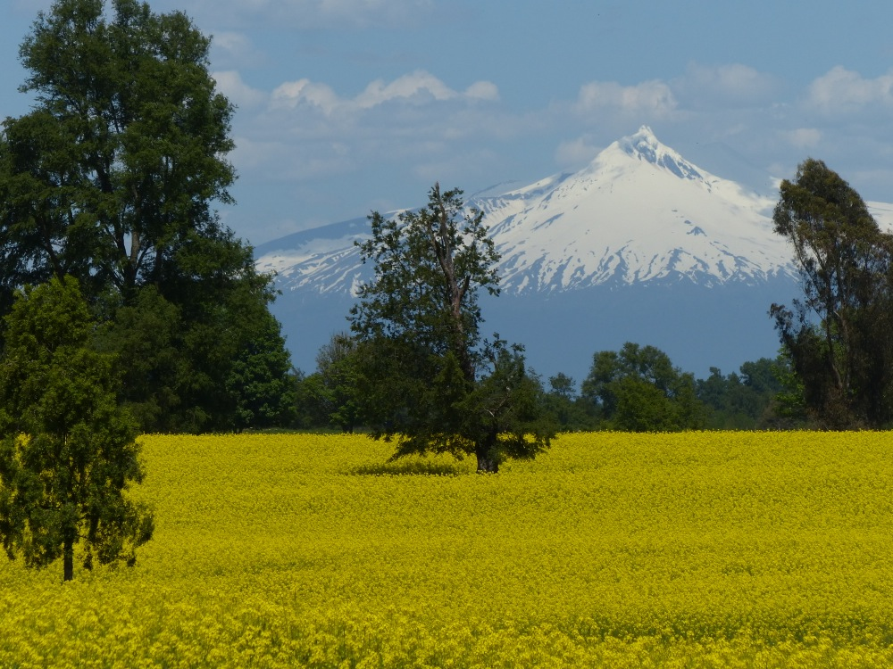 Fields of rapeseed plants (the source of canola oil) create a vivid yellow carpet.